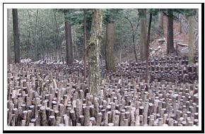 椎茸の栽培